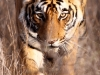 Asiatic Wildlife 007