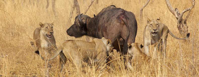 Survival of the fittest: he wilds of Africa are a harsh and unforgiving place