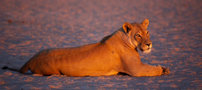 Lioness at Piper Pan