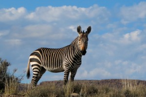 The endemic Cape Mountain Zebra