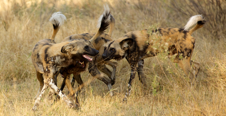 A pack of African wild dogs - Africa's second most endangered large carnivore - bond ahead of hunting