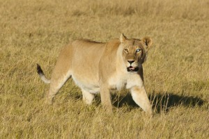 One-eyed lioness on the prowl