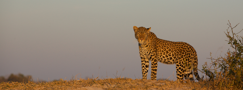A female leopard crests a termite mound as the sun sets on Selinda Reserve in Botswana