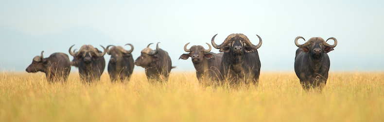 Grumeti has witnessed an incredible recovery in the buffalo population of over 900% in the past 12 years
