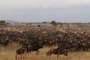 The wildebeest herds in search of grazing