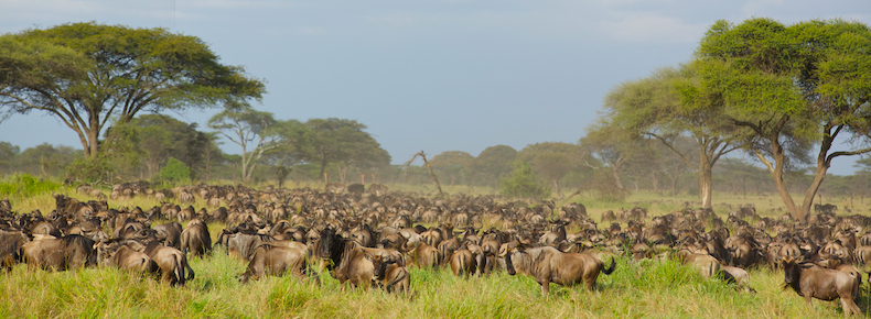 Within the space of less than two weeks Wildebeest numbers swelled to around 400,000 on the Singita Grumeti concessions