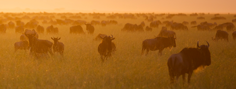 Wildebeest scatter across the western plains in high densities