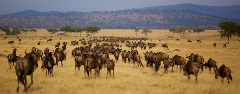 Long columns of wildebeest plod steadily southwards into Singita Grumeti