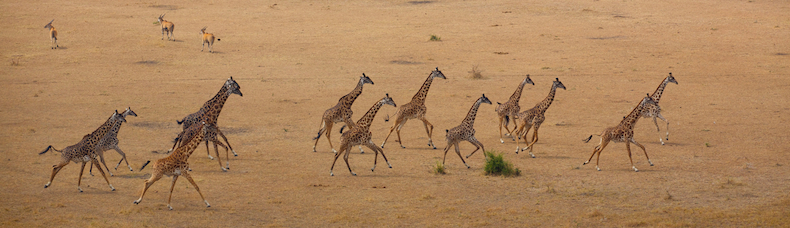 Giraffe are one of the many mammal species counted during the Singita Grumeti aerial survey in August