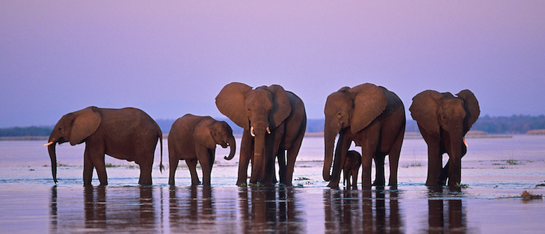 A small breeding herd of elephants feeds on grass on a flooded island in the midst of the Zambezi