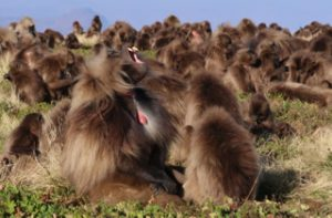 Dominant male Gelada monkey displaying