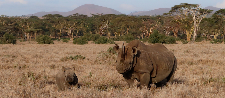 Lewa Wildlife Conservancy is a stronghold for the critically endangered East African black rhino