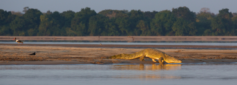 The Rufiji River must be home to one of the most impressive concentrations of crocodiles on the continent