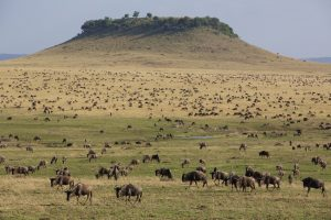 Wildebeest dominate the Lamai landscape