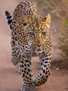 Young male leopard on the prowl at Royal Malewane