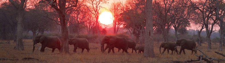 Sunrise over the South Luangwa catches an breeding herd of elephants on the move