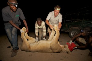 A ZCP research team fit a VHF radio collar to a lioness