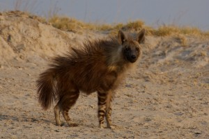 Brown hyena displaying