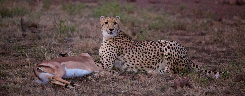 An alert female cheetah surveys her surrounds to make sure no other predators steal her kill
