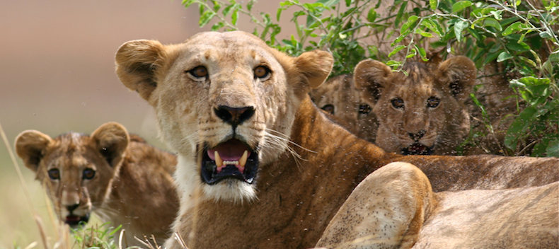 Kidepo is home to the third largest - and only increasing - lion population in Uganda