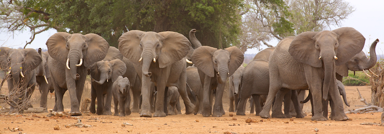 This tightly bunched herd of elephants speaks to the increased poaching pressure that Africa's pachyderms are encountering throughout the continent