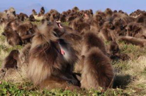 Dominant male Gelada monkey displaying