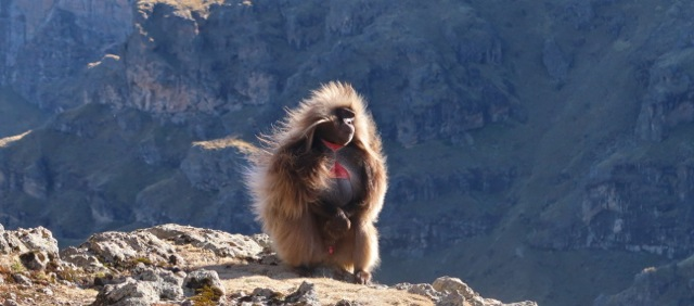 Gelada monkey surveys the Simien Mountains National Park from atop the escarpment
