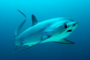 Thresher sharks at Monad Shoal