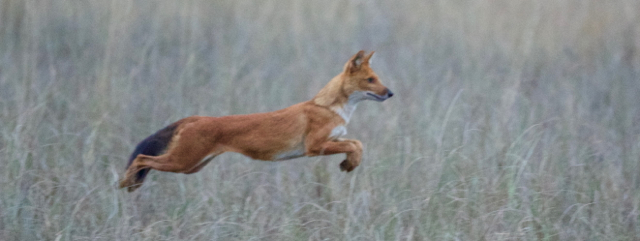 Indian wild dogs - locally known as dhole - hunting spotted deer at dawn
