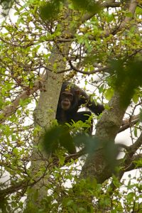 Chimp trekking